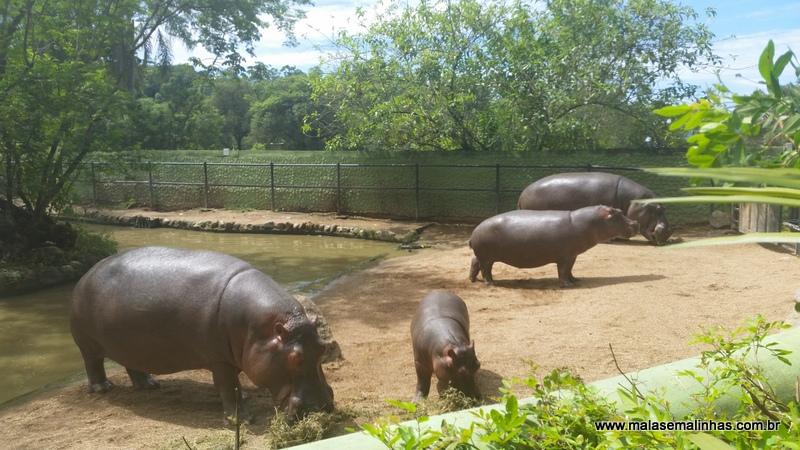 Família de hipopótamos na hora da refeição